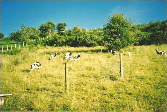 Grazing Jacob Sheep
