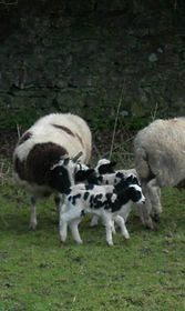 Jacob Sheep & lambs