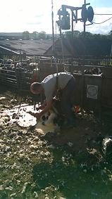 Shearing Jacob sheep