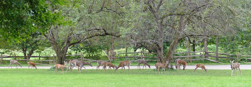 Deer-feasting-on-crabapples_JAW-105359.j