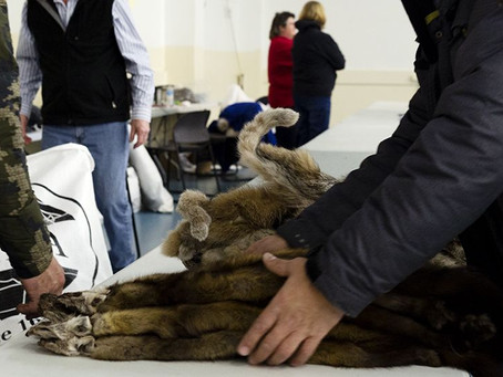 What makes a quality fur with the North American Fur Auctions