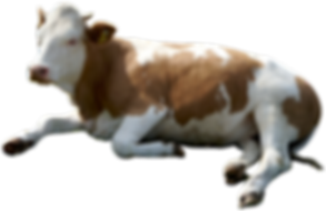 Cow-PNG-Images-1024x663.png
