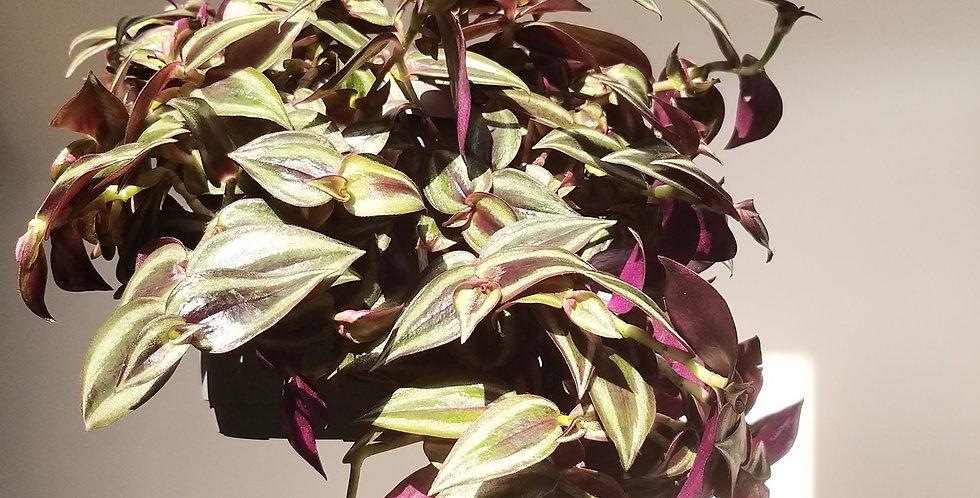 Tradescantia Zebrina Inch Plant Hangpot