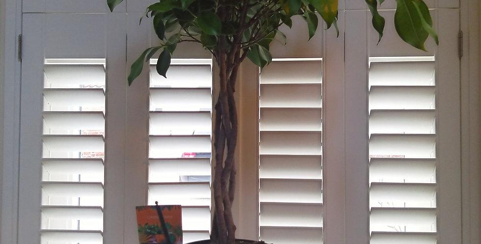 Ficus Mi Overig Ginseng Spiral & Manilla White Pot