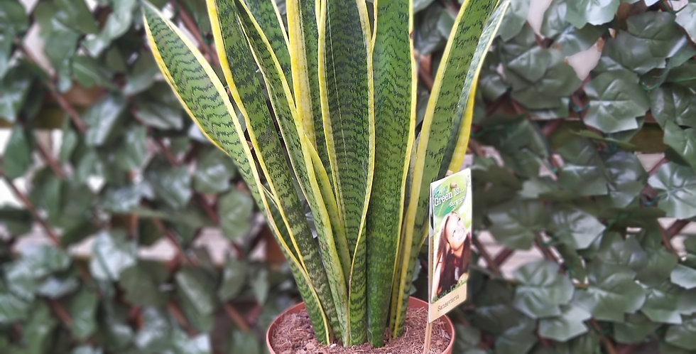 Sansevierias Laurentii Snake Plant