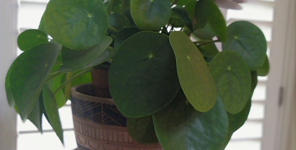 Pilea Peperomidides Chinese Money Plant  & Ceramic African Pot