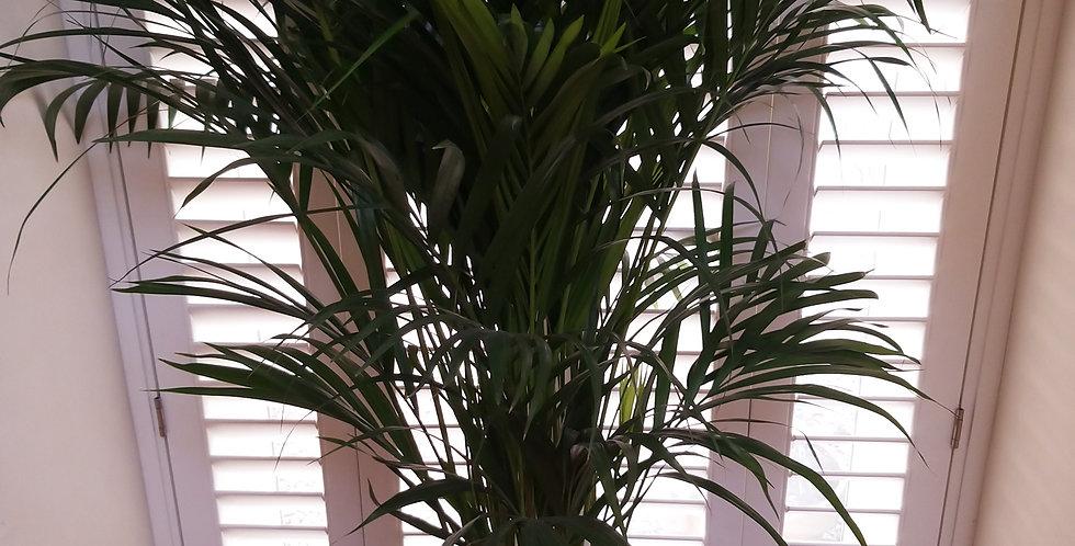 Golden Cane Palm - Dypsis Lutesccens Medium