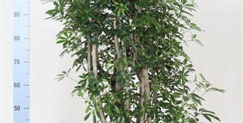 Schef Luseana Fig Plant Large