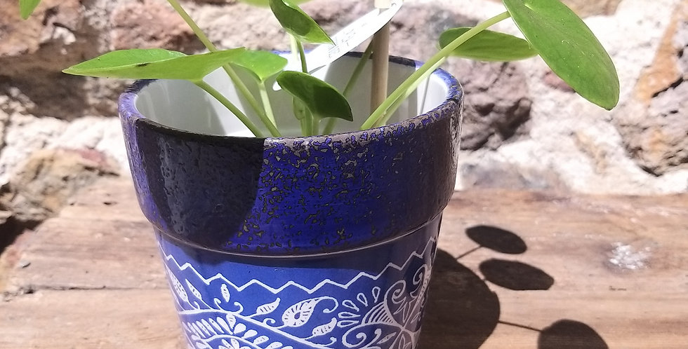 Chinese Money Plant & Ceramic Blue French Pots