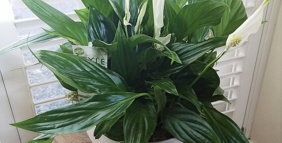 Spathiphyllum Peace Lilly Trio