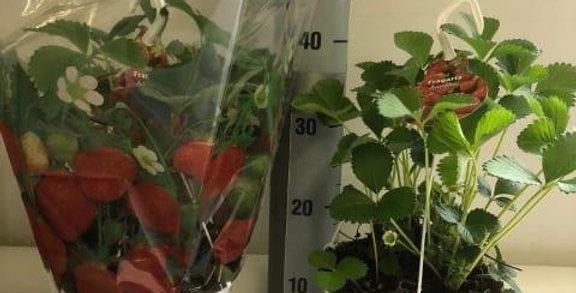 Fragaria Hang Pot Strawberry Plant