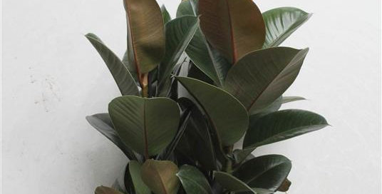 Ficus Robusta Rubber Plant 85cms