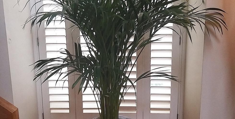 Golden Cane Palm - Dypsis Lutesccens