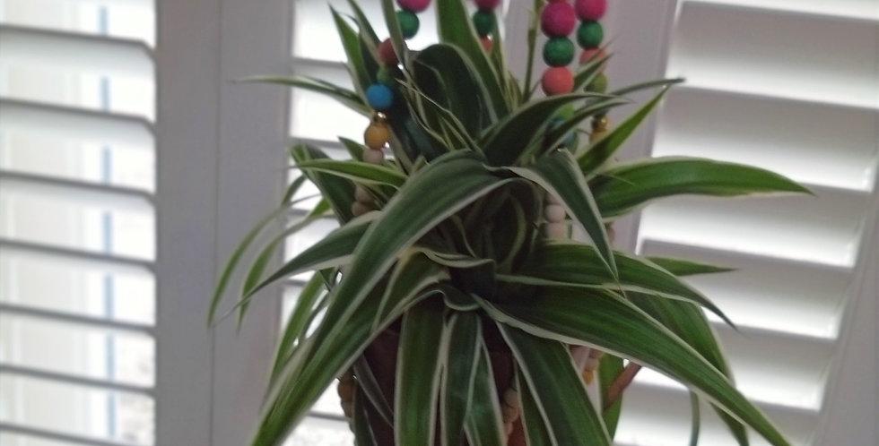 Chlorophytum Spider Plant & Beaded hanging holder