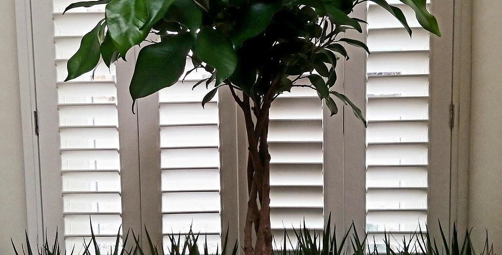 Ficus Mi Overig Ginseng Spiral 90cms
