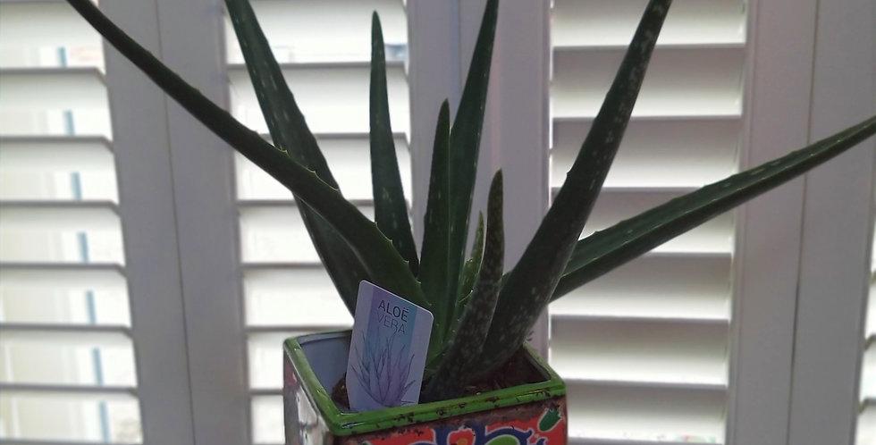 Aloe Vera & Ceramic Tegal Indonesian Pot