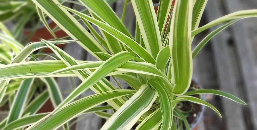 Chlorophytum Atlantic Spider Plant