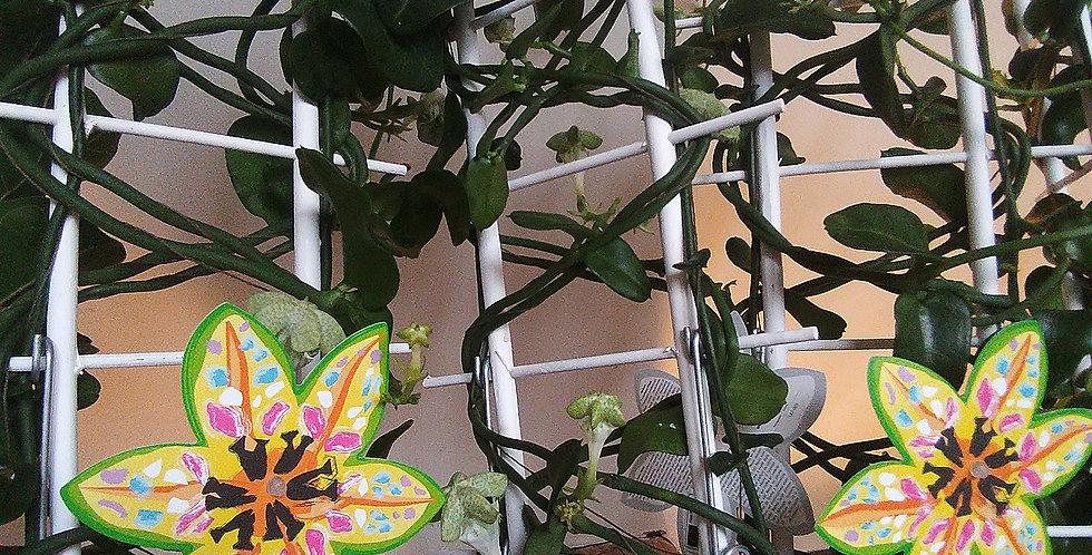 Ceropeg Sandersonii Umbrella Fly Eater