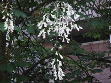 Cladrastis lutea - Yellowwood 2G
