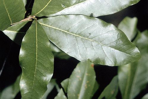 Quercus imbricaria-Shingle Oak 2G