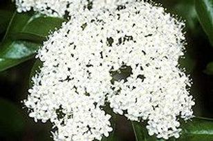 Viburnum prunifolium-Blackhaw Viburnum