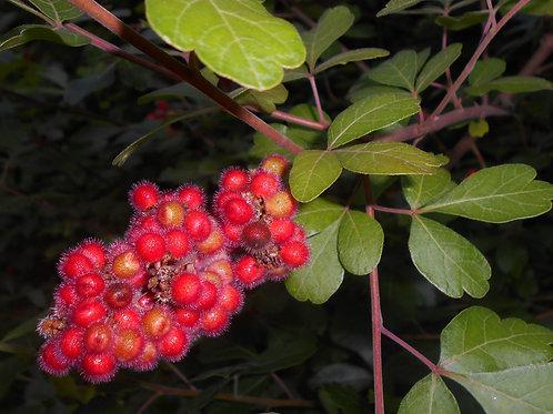 Rhus aromatica - Fragrant Sumac 1G