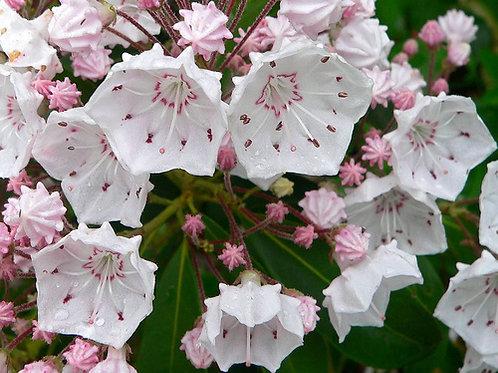 Kalmia latifolia - Mountain Laurel