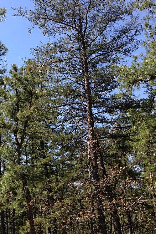 Pinus virginiana-Virginia Pine