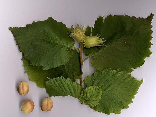 Corylus americana - Hazelnut