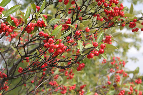 Aronia arbutifolia-Red Chokeberry