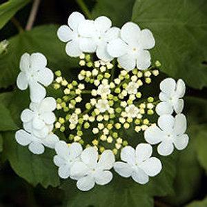 Viburnum trilobum-Cranberry Viburnum