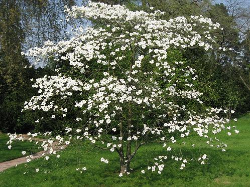 Cornus florida - Flowering Dogwood 3G