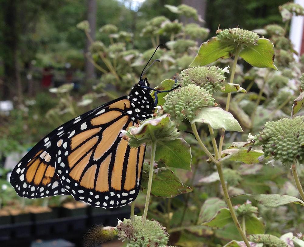 Monarch on Mountain Mint