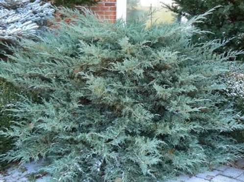 Juniperus virginiana 'Grey Owl' 3G