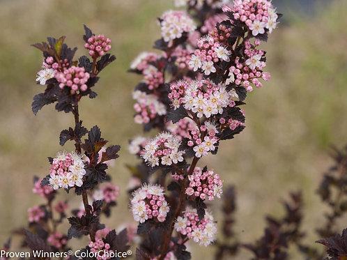 Physocarpus 'TINY WINE' 3G