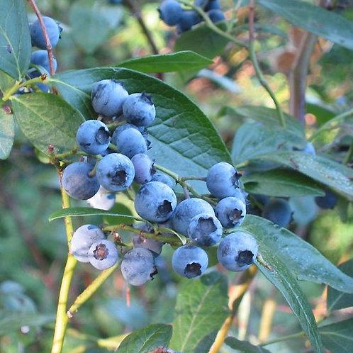 Vaccinium angustifolium - Lowbush blueberry 1G