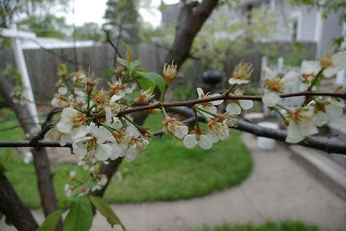Prunus americana-American Plum 2G