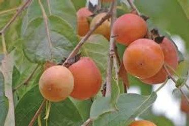 Diospyros virginiana - Persimmon