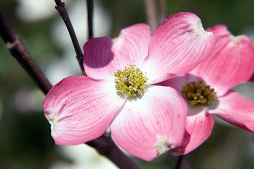 Cornus florida 'Rubra' 7G