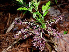 Plant Profile: Xanthorhiza simplicissima-Yellowroot