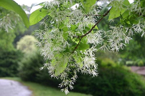 Chionathus virginicus-Fringetree