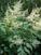 Plant Profile: Astilbe biternata-American Astilbe
