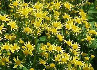 Plant Profile: Packera aurea-Golden Groundsel