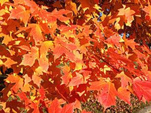 Acer saccharin- Sugar Maple