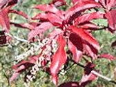 Oxydendrum arboreum -Sourwood 5G