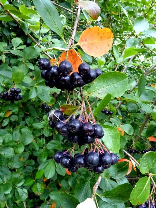 Aronia melanocarpa-Black Chokeberry 1G