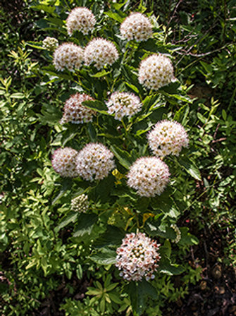 Physocarpus opulifolius -9-bark