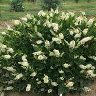 Clethra alnifolia-Summersweet 'Hummingbird'