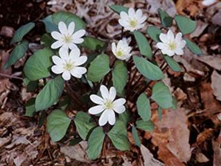 Plant Profile: Jeffersonia diphylla-Twinleaf