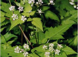 Plant Profile: Osmorhiza claytonii-Sweet Cicely